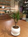 【送料無料】 観葉植物 ドラセナ コンシンネ 鉢植え 高さ20cm程度 観葉植物 誕生日 プレゼント ホワイト サークル 受け皿付き 土植え …
