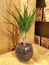 【送料無料】 観葉植物 ドラセナ コンシンネ 観葉植物 誕生日 高さ20cm程度 ハイドロカルチャー ラウンド グラス ハイドロ 角 ガラス …