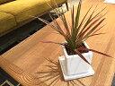 【送料無料】 観葉植物 ドラセナ レインボー 鉢植え 高さ20cm程度 観葉植物 ホワイト キューブ 受け皿付き 土植え 真実の木 白 陶器 デ…