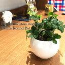 【送料無料】 シュガーバイン ハイドロカルチャー 洗練されたオトナが選ぶ 観葉植物 ホワイト ラウンド 高さ15cm程度【白 丸 つる性 ハ…