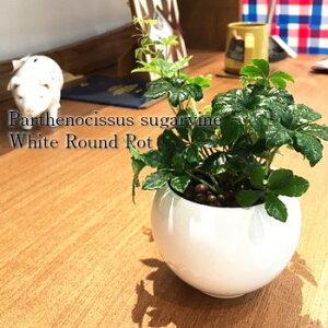 【送料無料】 ハイドロ カルチャー 観葉 植物 観葉植物 おしゃれ シュガーバイン 洗練されたオトナが選ぶ ホワイト ラウンド 高さ15cm程度 【白 丸 つる性 陶器 デスク 誕生日 風水 ギフト お