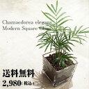 【送料無料】 テーブルヤシ 観葉植物 ハイドロカルチャー スクエア グラス 高さ15cm程度【ハイドロ ガラス ヤシの木 デスク 誕生日 風…