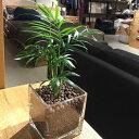 【送料無料】 観葉植物 テーブルヤシ 観葉植物 ハイドロカルチャー スクエア グラス 高さ15cm程度 【ハイドロ ガラス ヤシの木 デスク …