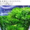 アナカボ three bundles (hole chalice 15 カボンバ 15) 18cm in length decrease pesticide processing finished