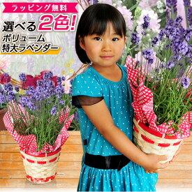 ラベンダー 5号サイズ 鉢花 鉢植え 母の日 ボリューム特大ラベンダー 送料無料 素敵な香りとブルーに染まる ラッピング リボン 花 母の日ギフト ハーブ 母の日プレゼント あす楽対応 2021年