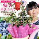 実付き ブルーベリー 鉢植え 母の日 プレゼント 特大ボリューム満点 送料無料 大実系ブルーベリー 2品種植え 2種類で毎年 結実しやすい…