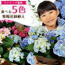 あじさい アジサイ 5色から選べる 紫陽花 母の日 5号サイズ 鉢植え ハイドランジア プレゼント ピンク パープル ブルー ホワイト 特大…