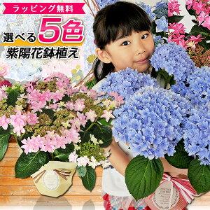 あじさい アジサイ 5色から選べる 紫陽花 母の日 5号サイズ 鉢植え ハイドランジア プレゼント ピンク パープル ブルー ホワイト 特大ボリューム満点 送料無料 鉢花 母の日ギフトフラワー 花