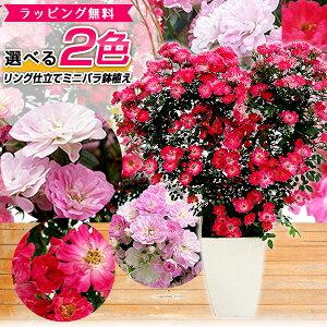 2色から選べる 薔薇 リング仕立て ツル ミニバラ 鉢植え 母の日 プレゼント 特大ボリューム満点 送料無料 鉢花 母の日ギフトフラワー 花 ギフト 母の日 2021年