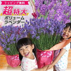 ラベンダー 10号サイズ 鉢花 鉢植え 母の日 超ボリューム特大ラベンダー 送料無料 お母さんもビックリ 高さ70cmセンチ 花 母の日ギフト ハーブ 母の日プレゼント 2021年