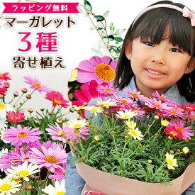 マーガレット 3色寄植え 6号サイズ 鉢花 鉢植え 母の日 ボリューム満点 送料無料 カラフル ラッピング付き 高さ40cmセンチ 花 母の日ギフト 母の日プレゼント