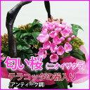 におい桜 送料無料 アッサムニオイザクラ ルクリア 【 匂い桜 5寸をアンティーク調のテラコッタの器にセットしたト 】…