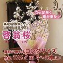 啓翁桜のお歳暮・ご年始・入学祝・卒業祝い・結婚記念日【送料無料】