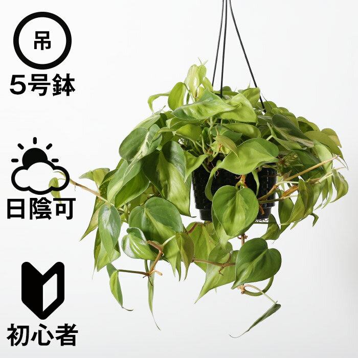吊り下げ フィロデンドロン・ブラジル(観葉植物 おしゃれ 人気 日陰 プラ吊り鉢)