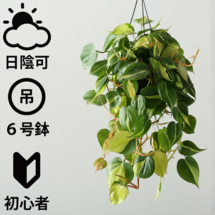 吊り下げ フィロデンドロン・ブラジル(おしゃれ 観葉植物 人気 日陰 プラ吊り鉢)