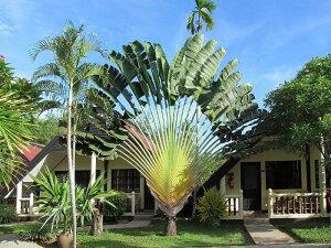 旅人の木の種