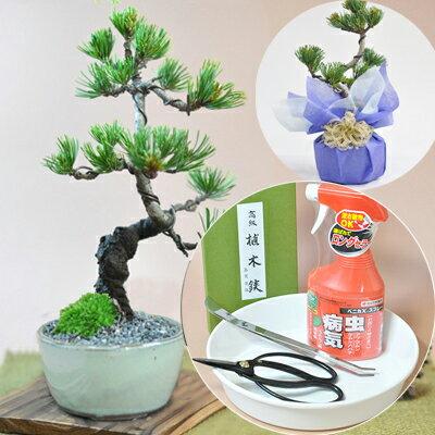 ミニ五葉松の盆栽と本格道具4点セット 初心者OK はじめての盆栽 これから楽しむ新しい趣味