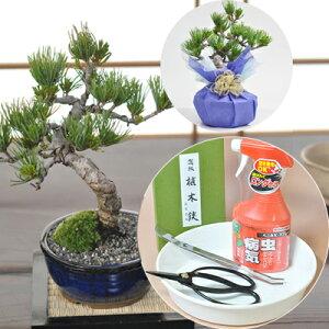 【父の日 盆栽】【樹齢8年 完成された美しさの五葉松の...