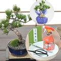 【60代男性】還暦祝いに!初心者でもお手入れしやすい盆栽は?