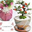 盆栽 花 長寿梅 ミニ盆栽 鉢植え 観葉植物 信楽 祝い鉢 受皿付き 送料無料 お祝い 花盆栽 bonsai ぼんさい 和風 鉢植…