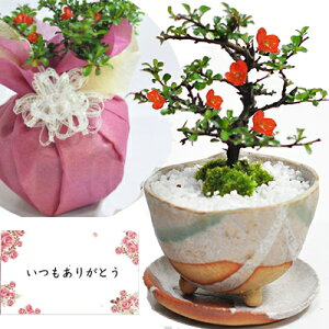 盆栽 花 長寿梅 ミニ盆栽 鉢植え 観葉植物 信楽 祝い鉢 受皿付き 送料無料 お祝い 花盆栽 bonsai ぼんさい 和風 鉢植え 贈り物 プレゼント ギフト お祝い ラッピング メッセージカード