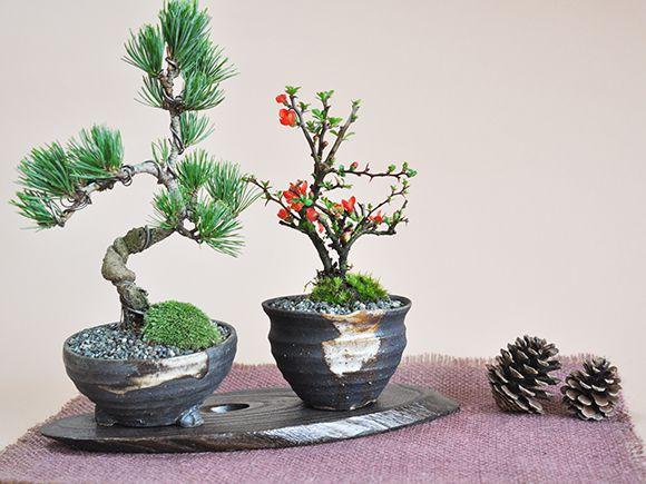 ペアセット 長寿梅と五葉松の盆栽【盆栽 ミニ盆栽 鉢植】