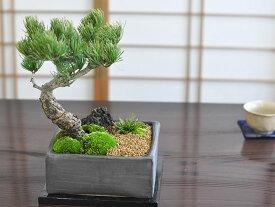 和の庭 五葉松【盆栽 ミニ盆栽 鉢植】