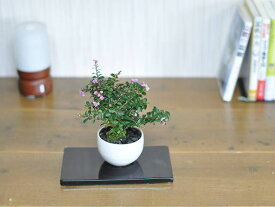 【盆栽】ミニサルスベリ【ミニ盆栽 ミニ さるすべり サルスベリ 花ギフト 敬老の日】