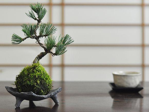 五葉松の苔玉【盆栽 ミニ盆栽 bonsai ボンサイ ぼんさい 小品 誕生日 引越し祝昇進退職贈り物プレゼント】