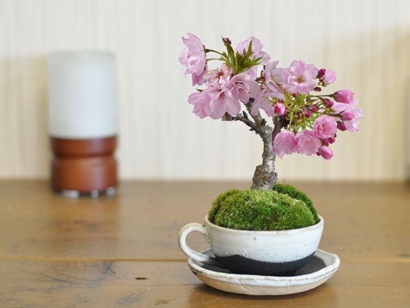 桜盆栽 さくら 桜ミニミニティーカップ【かわいい おしゃれ 初心者 贈り物 ギフト プレゼント 誕生日 バレンタイン さくら 母の日 ミニ盆栽 bonsai ぼんさい】