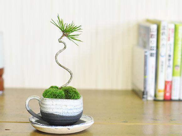 松盆栽黒松ミニミニティーカップ【かわいい おしゃれ 初心者 贈り物 ギフト プレゼント 誕生日 バレンタイン まつ 母の日 ミニ盆栽 bonsai ぼんさい】