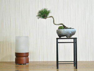 斜幹の黒松【盆栽 ミニ盆栽 鉢植】