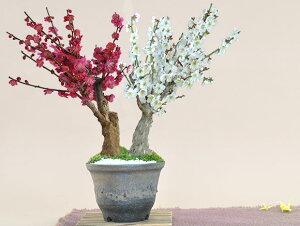 紅梅と白梅の二本植え【盆栽 ミニ盆栽 鉢植】