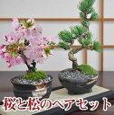 桜 盆栽と松のペアセット【花と緑で始める盆栽 ミニ盆栽 鉢植え ギフト 贈り物 和 ミニ 】