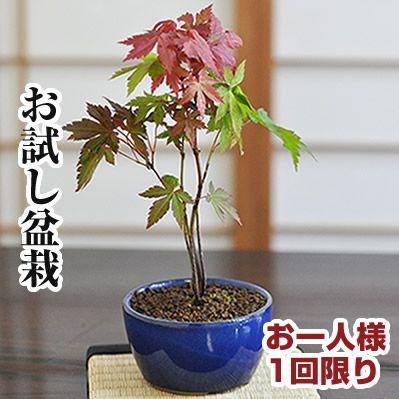 盆栽お試しチビもみじ 【和 観葉植物 職人 趣味 ホビー 紅葉盆栽 ミニ盆栽 bonsai 盆栽 入門 初心者 おためし ボンサイ】