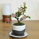 盆栽 睡蓮木 受皿付き 花 スイレンボク 鉢植え ラッピング メッセージカード、育て方冊子&肥料付 送料無料 和風洋風 …
