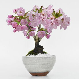 盆栽 桜 さくらの信楽茶碗鉢 ミニ盆栽 陶器鉢4号 樹齢5年 盆栽ギフト かわいい おしゃれ 初心者 贈り物 ギフト プレゼント 誕生日 バレンタイン さくら 母の日 sakura bonsai ぼんさい 桜特集