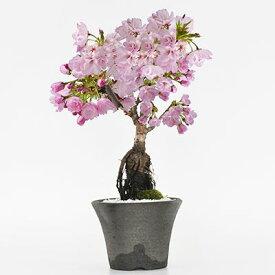 盆栽 桜 シックなモダン盆栽 中サイズの旭山桜 ミニ盆栽 陶器鉢4号 樹齢5年 盆栽ギフト かわいい おしゃれ 初心者 贈り物 ギフト プレゼント 誕生日 バレンタイン さくら 母の日 sakura bonsai ぼんさい 桜特集
