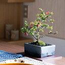 盆栽 長寿梅 洗練された和モダン 雅シリーズ【ミニ 室内 インテリア 鑑賞 おしゃれ 鉢植え bonsai ぼんさい 10000円以…