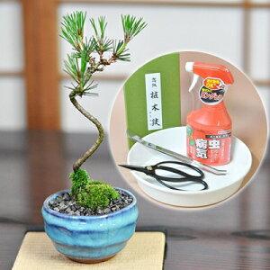 盆栽と初心者道具のセット 松盆栽 本格四国黒松 選べる陶器の鉢 受け皿 or 敷物付き 趣味