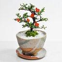 敬老の日 盆栽 花 長寿梅 ミニ 鉢植え 観葉植物 信楽 祝い鉢 受皿付き 送料無料 お祝い 花 bonsai ぼんさい 和風 鉢植…