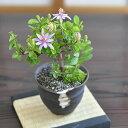 【楽天スーパーセール対象★半額】花の咲く盆栽 睡蓮木 長く花を楽しめて育てやすい盆栽 すいれんぼく 花盆栽