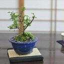 白花長寿梅 白い花を咲かせる縁起の良いお花盆栽 万古焼の陶器鉢 職人仕立て