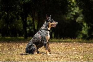 [引っ張り緩和トレーニングに] EZY DOG イージードッグ クロスチェックハーネス XLサイズ 全2色【犬/ハーネス/胴輪/小型犬】