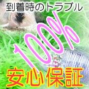 熱帯魚・観賞魚チェリーレッドシュリンプ10匹+1匹おまけ
