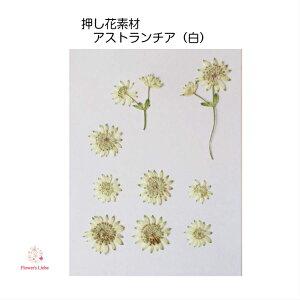 押し花 素材 アストランチア(白) レジンアクセサリー スマホケース 押し花額 固まるハーバリウム キャンドル クリアフレーム ハンドメイド 植物 ナチュラル ボタニカル 癒し