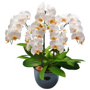 胡蝶蘭 お祝い 5本立ち 白色 ミディ 7号 陶器鉢 ギフト 椎名洋ラン園 産地直送の花ギフト