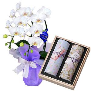 ミディ胡蝶蘭 2本立ち 白色 奥野晴明堂のお線香 花くらべ 2本入 桜・紅梅 線香セット