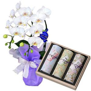 ミディ胡蝶蘭 2本立ち 白色 奥野晴明堂のお線香 花くらべ 3本入 桜・一葉・紅梅 線香セット