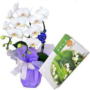 ミディ胡蝶蘭 2本立ち 白色 薫寿堂のお線香 花かおりすずらん 微煙タイプ #632 線香セット